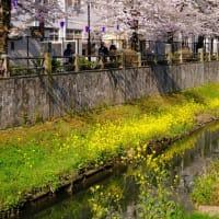 【桜】市川市真間川の桜をX-E4にXC15-45を付けて撮ってきた Shot cherry blossoms at Mama-gawa River on X-E4 with XC15-45.