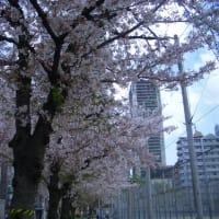 今年もこっそりお花見ランチ〜3〜