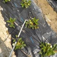 イチゴに木酢液を散布、防鳥ネットをかぶせました