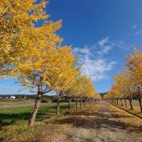 石川で一番、宝達志水町のイチョウ並木を撮ってきた