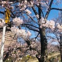 朝練 ZWIFTレース 【 KOA  SPORTS  LEAGUE  WARRIOR  RACE   】 17位。 とお花見散歩ライド。