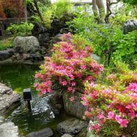 庭のサツキ(1)~「大盃」