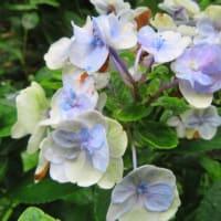 紫陽花「十二単衣」 6