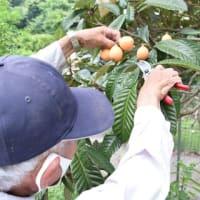 初夏の風物詩「びわ」の収穫が箕面市北部の止々呂美地区で行われました