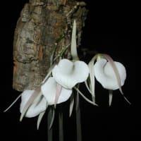 蘭:ブラサボラ・アコーリス(B. acaulis)
