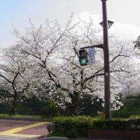 2007年 さくら③:舞鶴・平和台公園