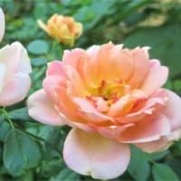 薔薇◇美白・しみ集中ケア✨  【原液】有効成分たっぷり生詰め【医薬部外品】◆