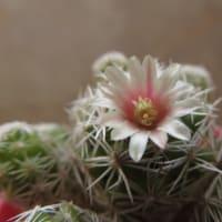 銀手毬の花