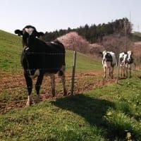 今年も元気に育成牛が放されました。-気仙沼市本吉放牧場-
