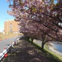 河津桜が散り、今度はソメイヨシノだ