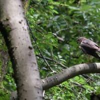 低い枝にとまっていた、ツミの若鳥。
