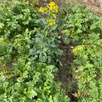 大根の収穫とジャガイモの植え付け。
