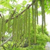 オニグルミ     宇宙の果て     千葉県市川市行徳・野鳥の楽園