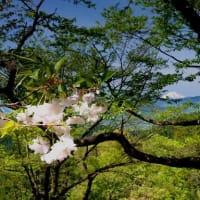 桜 探鳩 - 高尾山 紅葉台階段脇の八重桜 富士山と八重桜 絵になります!