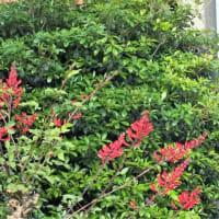 サンゴシトウ 珊瑚紫豆 珊瑚刺桐