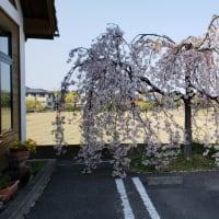 コックの桜