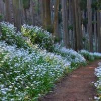 京都)シャガ群生地に今年も観光客