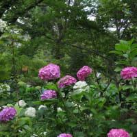 やっぱり紫陽花(赤編)~京都府立植物園2019年6月 (1)