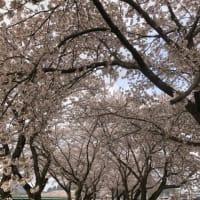 桜まつり開幕です。