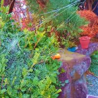 冬のある朝、大きな蜘蛛の巣を見る。「蝉の一生は7日間」・では「蜘蛛」は・・・・・