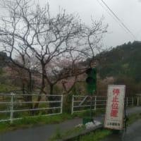 なごり雪と桜の競演byいすみ鉄道