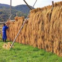 稲の取り込み作業