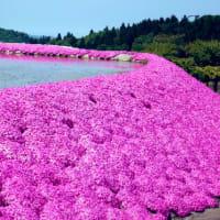 やすらぎ荘の芝桜