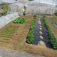Mチン⑥播種、菜園あれこれ
