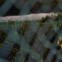 フェンスの向こうの雄猫