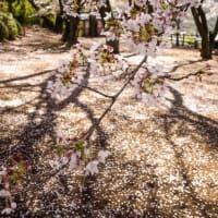 逆光の桜が綺麗でした!