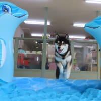 9月の【パピーパーティー】のご案内  犬のしつけ教室@アロハドギー