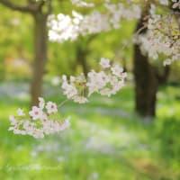 桜と新緑のコラボ