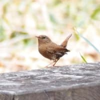 Cutie bird No.12 ミソサザイ
