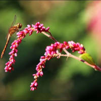10 / 14 「 唐綿 雪華草 蘆薈 矢の根梵天花 犬蓼 」 花・鳥・風月の写真です