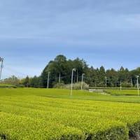 静岡からの新茶だより