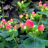 庭の花木(6月)  サツキ、アジサイ、スモークツリー、ハギ、他
