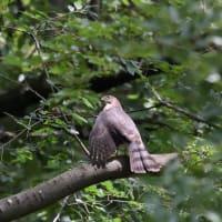 翼を下向きに広げていた、ツミの若鳥。