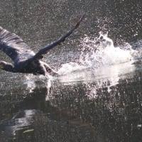 ё とても迫力を感じさせる、飛び立とうとする、カワウの姿、ドキドキ眺め ё(岐阜県美濃地方)