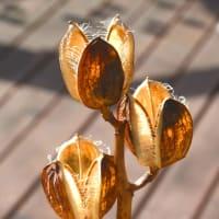 干し柿に朱色差し、オオウバユリの空き室に朝日射す。