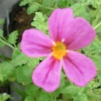 サンブリテニア・パープルディーバの花は