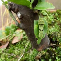 アゲハチョウの終齢幼虫と蛹