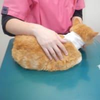 飼い主のいない猫さんのケガ治療