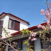 庭に小さな桜の花