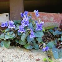 庭の片隅でひっそりと咲く花!・・・山野草 フリチラリア スミレ