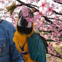 河津桜を見に行ったら