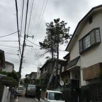横浜市青葉区の高木伐採。