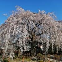 京の桜 2020 日蓮宗本山 本満寺の枝垂桜