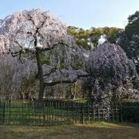 京の桜 2020 京都御苑の糸桜