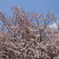 あれから10年・今年の桜