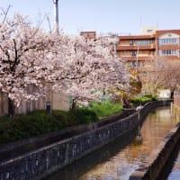 長瀬川沿いの桜は満開間近